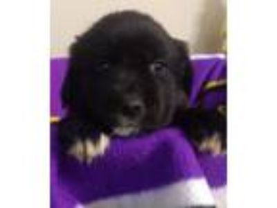 Adopt Maybelle a Labrador Retriever, Collie