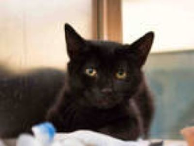 Adopt CATSUP a All Black Domestic Shorthair / Mixed (short coat) cat in