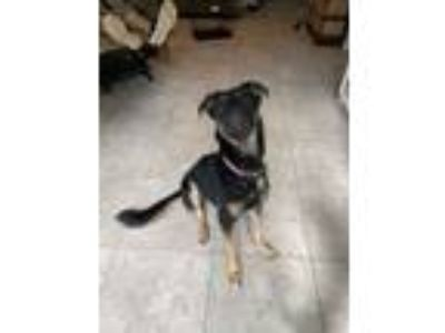 Adopt Bella a Black - with Tan, Yellow or Fawn German Shepherd Dog / Labrador