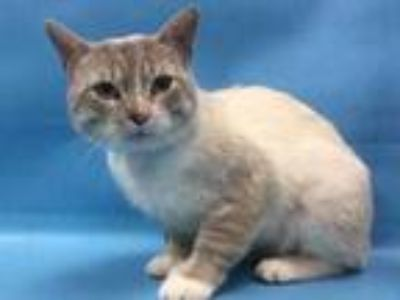 Adopt 42256810 a Cream or Ivory Siamese / Domestic Shorthair / Mixed cat in Coon