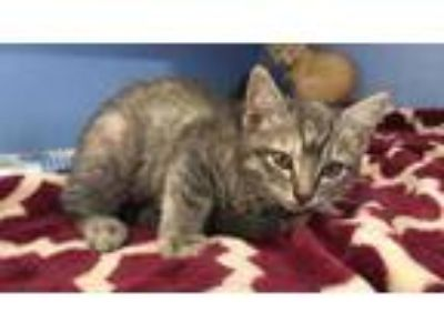 Adopt MARTHA a Gray or Blue Siamese / Domestic Shorthair / Mixed cat in Houston