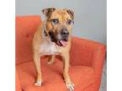 Adopt Sparky a American Staffordshire Terrier