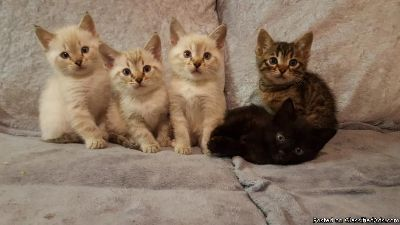 OIBHGF Bengal Kittens For Sale