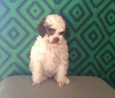Poodle (Toy) PUPPY FOR SALE ADN-108015 - AKC Toy Poodle Puppies