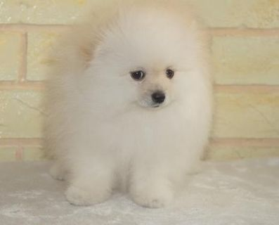 BRAVE Pomeranian puppies for their new home