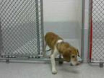Adopt SEYMOUR a Brown/Chocolate - with White Beagle / Mixed dog in Statesville