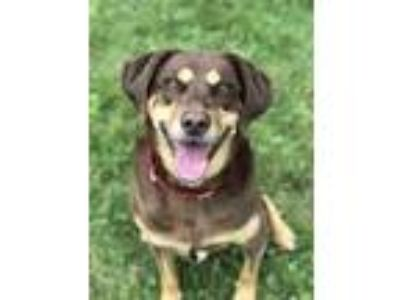 Adopt Torre a Brown/Chocolate Labrador Retriever / Doberman Pinscher / Mixed dog