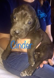 Great Dane PUPPY FOR SALE ADN-91404 - Great Dane Puppies