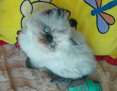 Persian Himalayan Exotic kittens