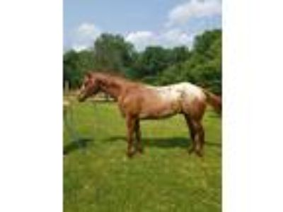 5 yr Old Easy going trail horse
