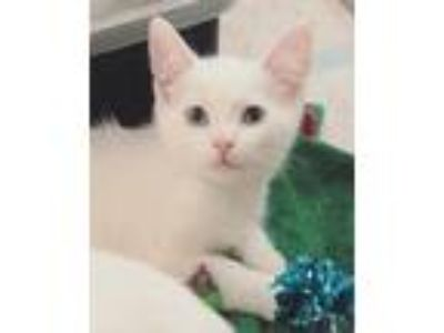 Adopt Sapphire a White Domestic Shorthair (short coat) cat in Yaphank