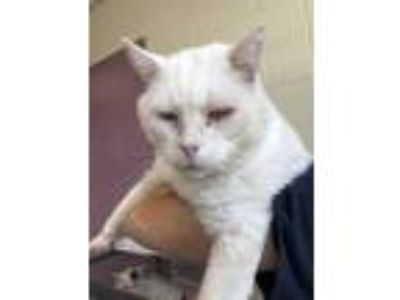 Adopt Hayes a White Domestic Shorthair / Domestic Shorthair / Mixed cat in