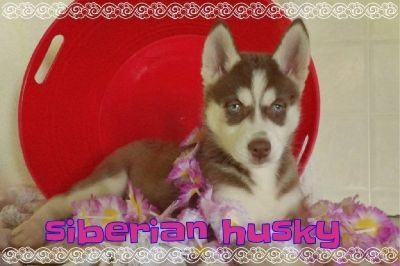 Penny Female Siberian Husky
