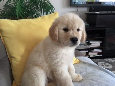 Golden Retriever PUPPY FOR SALE ADN-112540 - Golden Retriever