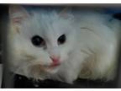 Adopt Pigeon a Domestic Medium Hair