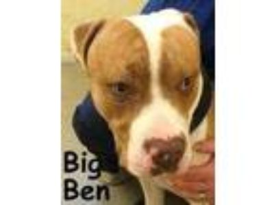 Adopt Big Ben a Brown/Chocolate Terrier (Unknown Type, Small) / Mixed dog in