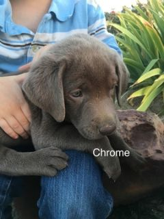 Labrador Retriever PUPPY FOR SALE ADN-94374 - AKC registered Silver Labrador puppies