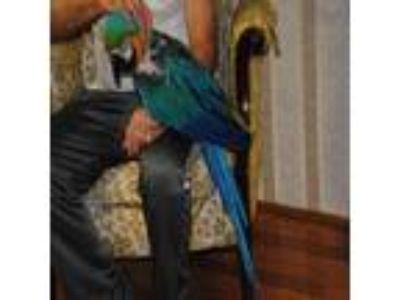 Adopt Rocky a Macaw