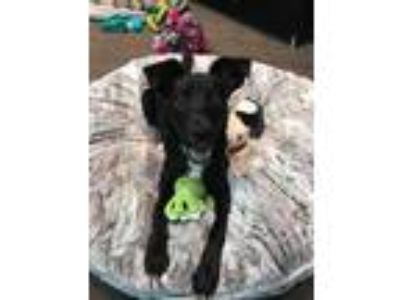 Adopt Scottie a Black - with White Labrador Retriever / Schipperke / Mixed dog