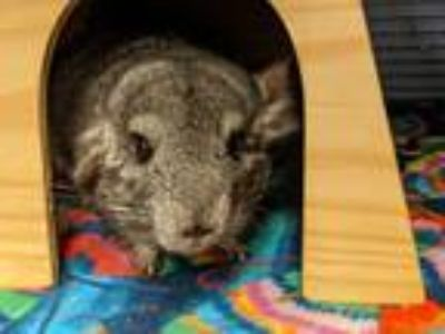 Adopt Bandit a Silver or Gray Chinchilla small animal in Fountain Valley