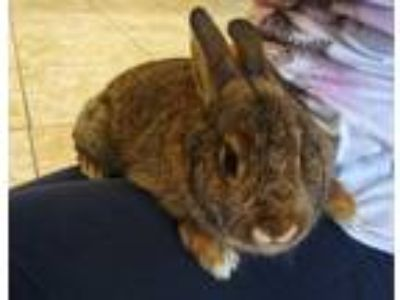 Adopt Dijon a American / Mixed (short coat) rabbit in Logan, UT (25435060)