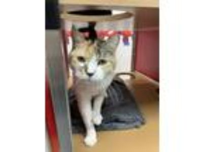 Adopt Goldie a Domestic Short Hair