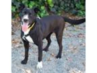 Adopt Doli a Labrador Retriever / Mixed dog in Oakland, CA (25919713)