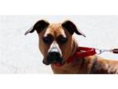 Adopt Reia a American Staffordshire Terrier / Boxer / Mixed dog in Escondido