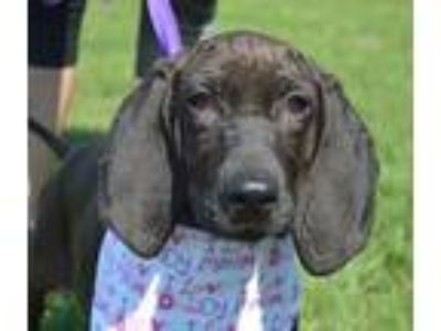 Adopt Margarita a Black Bloodhound / Mixed Breed (Large) / Mixed dog in Allen