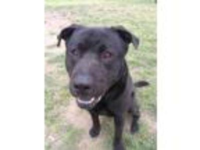 Adopt ALPHA a Black Labrador Retriever / Chow Chow / Mixed dog in Austin