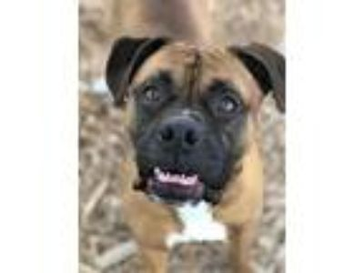 Adopt BUDDY a Boxer / Mixed dog in Franklin, TN (25293225)