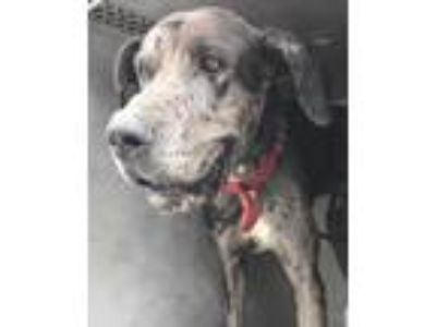 Adopt DANIEL a Gray/Silver/Salt & Pepper - with Black Great Dane / Mixed dog in