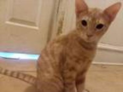 Adopt Charlie a Tan or Fawn Tabby Domestic Shorthair / Mixed cat in Fort Smith