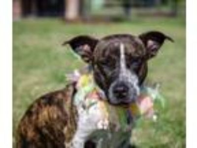 Adopt Meadow a Brindle Basset Hound / American Pit Bull Terrier / Mixed dog in