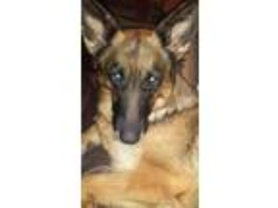 Adopt Jillian a Black - with Brown, Red, Golden, Orange or Chestnut German