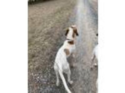 Adopt Patch a White - with Red, Golden, Orange or Chestnut Pointer / Pointer dog