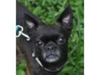 Adopt Suki a Brindle Pug / Boston Terrier / Mixed dog in Atlanta, GA (25879868)
