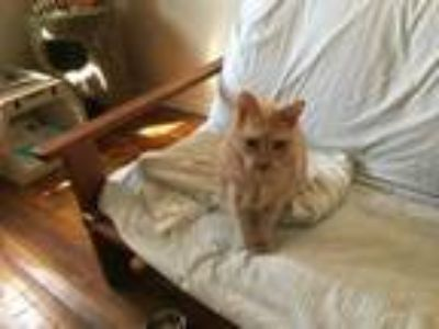 Adopt Tommy needs home! a American Shorthair