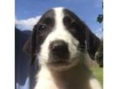 Adopt Rich a White Border Collie / Labrador Retriever / Mixed dog in Atlanta