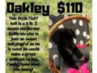 Adopt Oakley a Black - with White Border Collie / Mixed dog in Decatur
