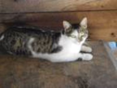 Adopt ZOOT a Gray, Blue or Silver Tabby Domestic Shorthair (medium coat) cat in