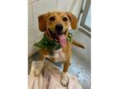 Adopt Twix a Tan/Yellow/Fawn Retriever (Unknown Type) / Beagle / Mixed dog in