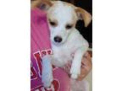 Adopt Wiley a Jack Russell Terrier