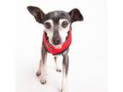 Adopt Paxton a Black Miniature Pinscher / Mixed dog in San Francisco
