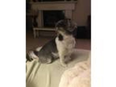 Adopt Sadie a White - with Gray or Silver Shih Tzu / Mixed dog in Tacoma