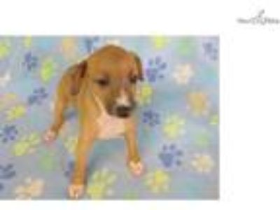 AKC Red Fawn Male Italian Greyhound