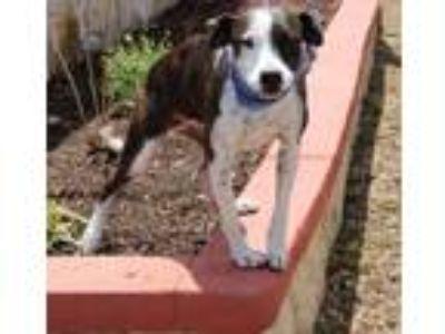 Adopt Rogue a Greyhound, Terrier
