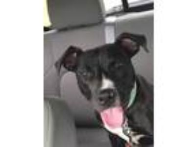 Adopt Shake a Black - with White American Pit Bull Terrier / Boston Terrier dog