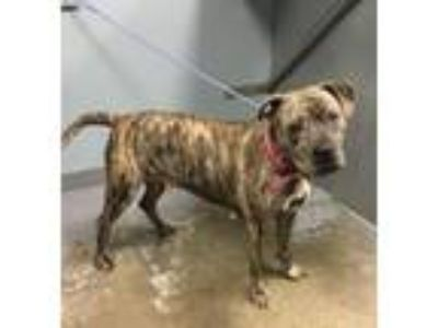 Adopt Crissy a Boxer, Mixed Breed