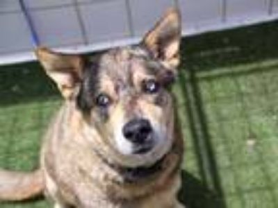 Adopt a Brown/Chocolate - with Black German Shepherd Dog / Husky / Mixed dog in